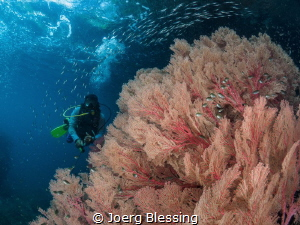 Seafan garden in Raja Ampat. by Joerg Blessing