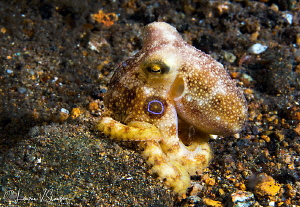 Mototi Octopus/Photographed with a Canon 60 mm macro lens... by Laurie Slawson