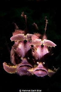 Purple rhinopias eschmeyeri. by Mehmet Salih Bilal