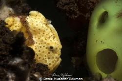 Antennarius pictus by Deniz Muzaffer Gökmen