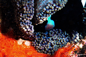 Saddleback Anemonefish Eggs in an Anemone/Photographed wi... by Laurie Slawson
