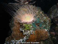 Tube Anemone by Hansruedi Wuersten