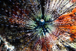Black Sea Urchin/Photographed with a Canon 60 mm macro le... by Laurie Slawson
