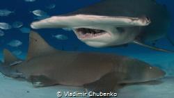 hammerhead shark by Vladimir Chubenko