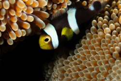 Anemone fish who took the attention from the porcelain crab by Morgan Riggs
