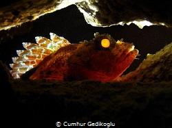 Scorpaena maderensis Back lighted by Cumhur Gedikoglu