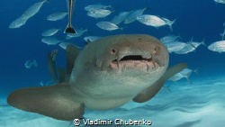 nurse shark by Vladimir Chubenko