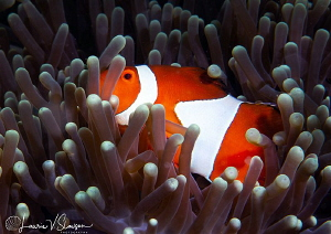 False clown anemonefish/Photographed with a Canon 60 macr... by Laurie Slawson