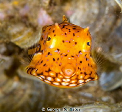 Tiny Yellow Box Fish!!! by George Touliatos