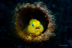 Yellow goby by Julian Hsu