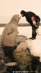 white whale kiss by Vladimir Chubenko