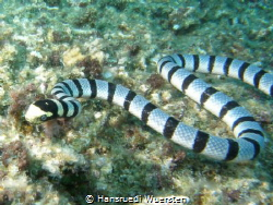 Banded Sea Snake / Yellow-lipped Sea Krait - Laticauda co... by Hansruedi Wuersten
