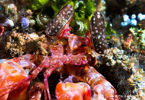 Lisa's Mantis Shrimp/Photographed with a Canon 60 mm macr... by Laurie Slawson