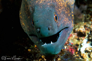 Yellowmargin moray eel/Photographed with a Canon 60 mm ma... by Laurie Slawson