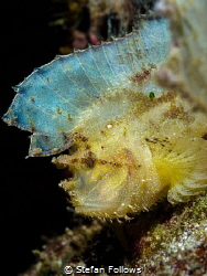 Lost and Found  Leaf Scorpionfish - Taenianotus triacan... by Stefan Follows