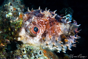 Orbicular burrfish/Photographed with a Canon 60 mm macro ... by Laurie Slawson