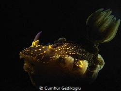 Felimare picta Gills was backlighted Rhinophores was sn... by Cumhur Gedikoglu