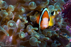 Clark's Anemonefish in Bubbletip Anemones/Photographed wi... by Laurie Slawson