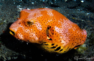 Star Puffer/Photographed with a 60 mm macro lens at Anila... by Laurie Slawson