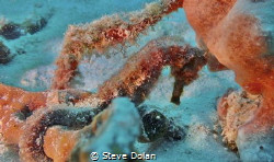 """Aquatic Equine"" Diving in Barbados and finally found a S... by Steve Dolan"