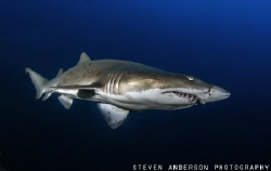 Sand Tiger Shark cruises at a slow pace by me during a di... by Steven Anderson