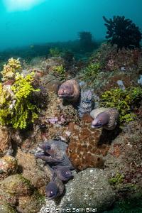 Moray eels. by Mehmet Salih Bilal