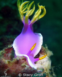 Hypselodoris Apolegma in Lembeh Straight. by Stacy Groff