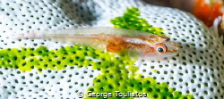 Goby with parasite by George Touliatos