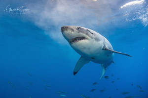 White Shark seven, Isla Guadalupe México by Alejandro Topete