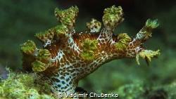 nudibranch 1 by Vladimir Chubenko