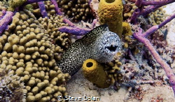Spotted Moray taken in Barbados with an Olympus Tg-4 by Steve Dolan