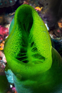 Green Coral/Photographed with a Canon 60 mm macro lens at... by Laurie Slawson