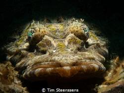 Crocodilefish Close up - taken with Olympus OMD-5 MII 60m... by Tim Steenssens