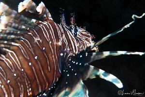 Common Lionfish/Photographed with a Canon 60 mm macro len... by Laurie Slawson