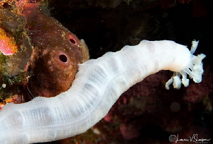 Lion's Paw Sea Cucumber/Photographed with a 60 mm macro l... by Laurie Slawson