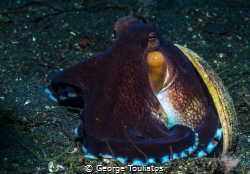 Coconut Octopus!!! by George Touliatos