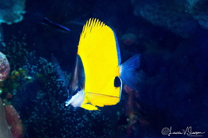 Longnose Butterlyfish/Photographed with a Canon 60 mm mac... by Laurie Slawson