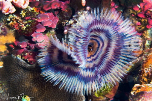 Tube Worm/Photographed with a Canon 60 mm macro lens at A... by Laurie Slawson