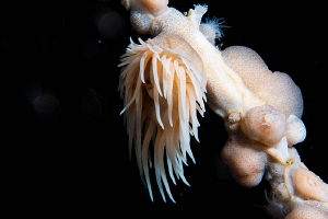 Sea Anemone/Photographed with a Canon 60 mm macro lens at... by Laurie Slawson