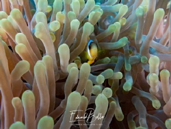 Anemone fish always adorable by Eduard Bello
