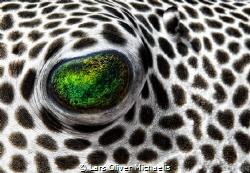 pufferfish eye by Lars Oliver Michaelis