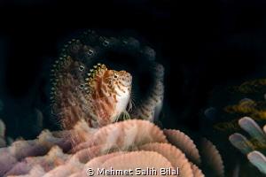 Dwarf hawkfish. by Mehmet Salih Bilal