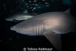 Sand tiger sharks on the Aeolus wreck, North Carolina by Tobias Reitmayr