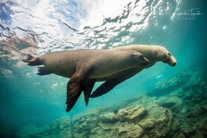 Sea lions in Green, Los Islotes de La Paz by Alejandro Topete