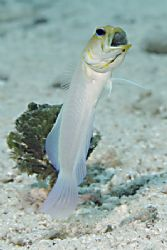 brooding Yellow Head Jawfish by Adam Laverty