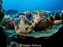 Oi you, it's Friday!  Hawksbill Turtle - Eretmochelys i... by Stefan Follows