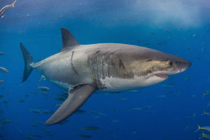 Great White Shark, Isla Guadalupe México by Alejandro Topete