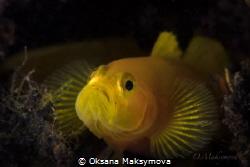 Yellow Pygmy-goby (Lubricogobius exiguus) by Oksana Maksymova