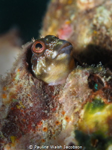Molly Miller Blenny, Lauderdale-by-the-Sea, Florida by Pauline Walsh Jacobson