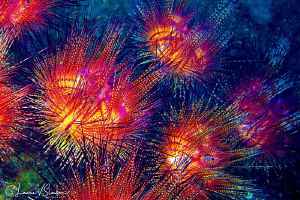 Underwater Fireworks/Photographed with a Canon 60 mm macr... by Laurie Slawson